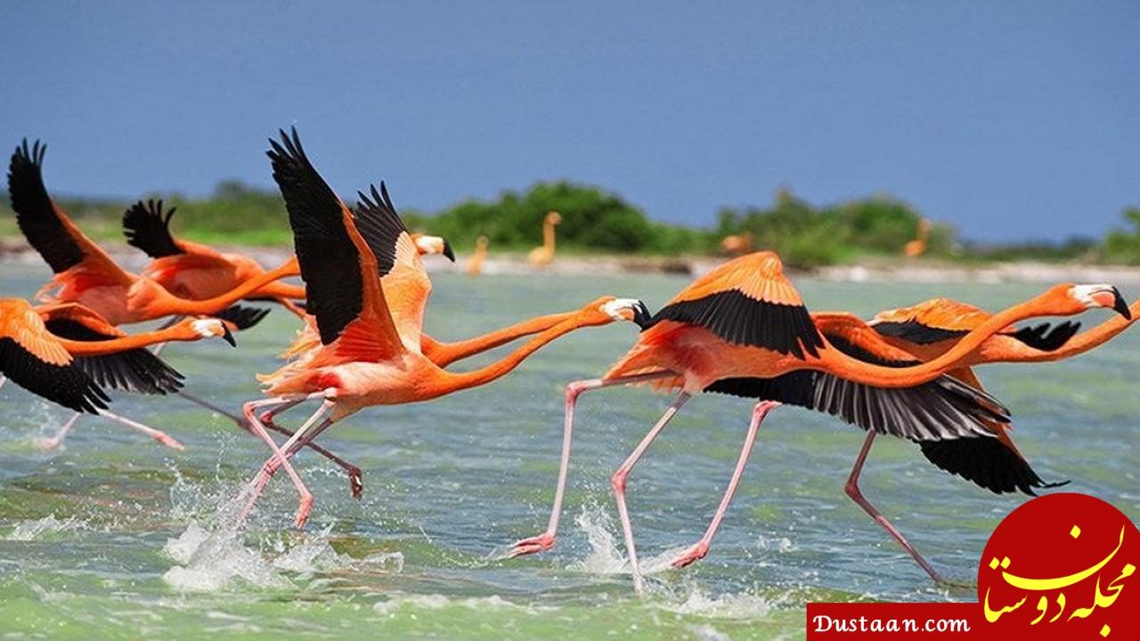 www.dustaan.com شمار فلامینگو های دریاچه ارومیه به 45 هزار بال می رسد