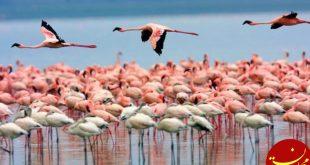 شمار فلامینگو های دریاچه ارومیه به 45 هزار بال می رسد
