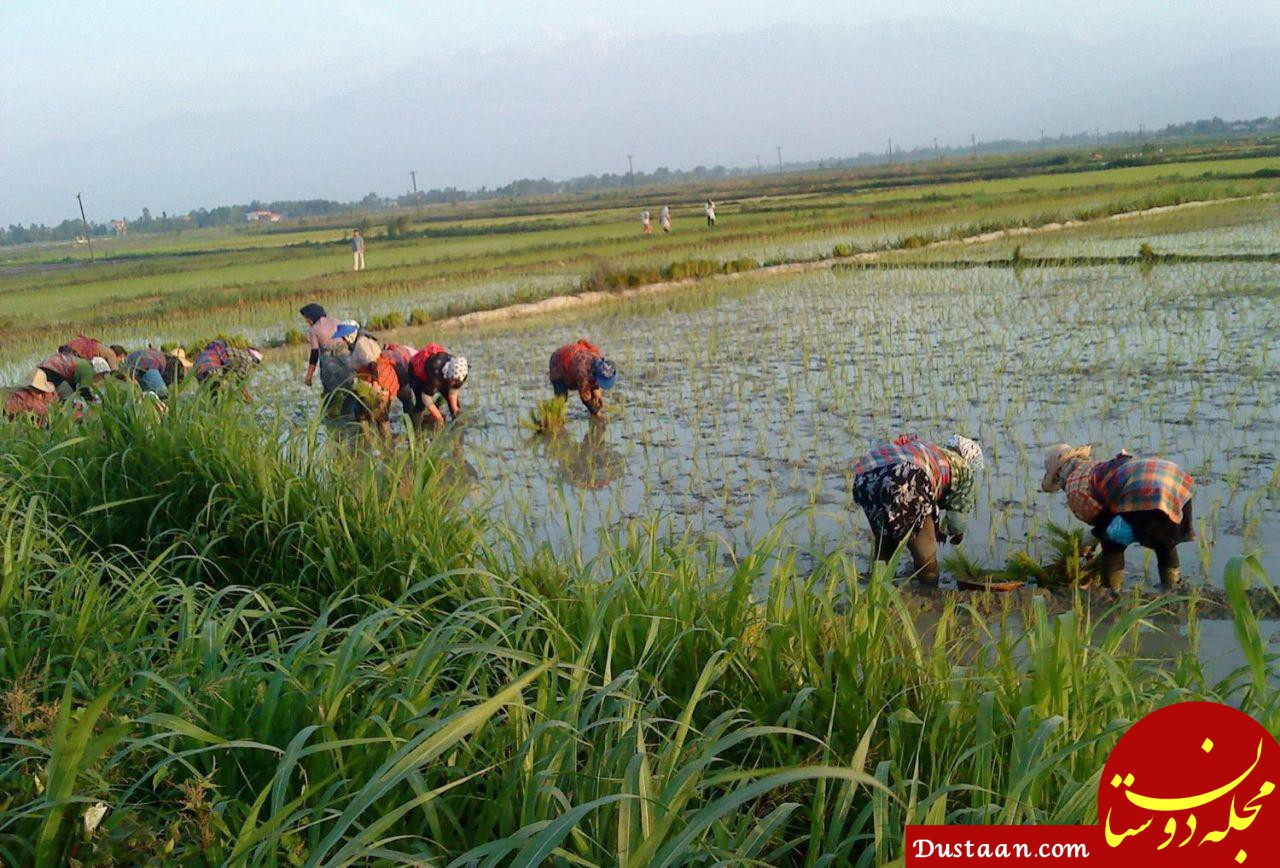 www.dustaan.com ممنوعیت کشت برنج در غیر از استان های شمالی