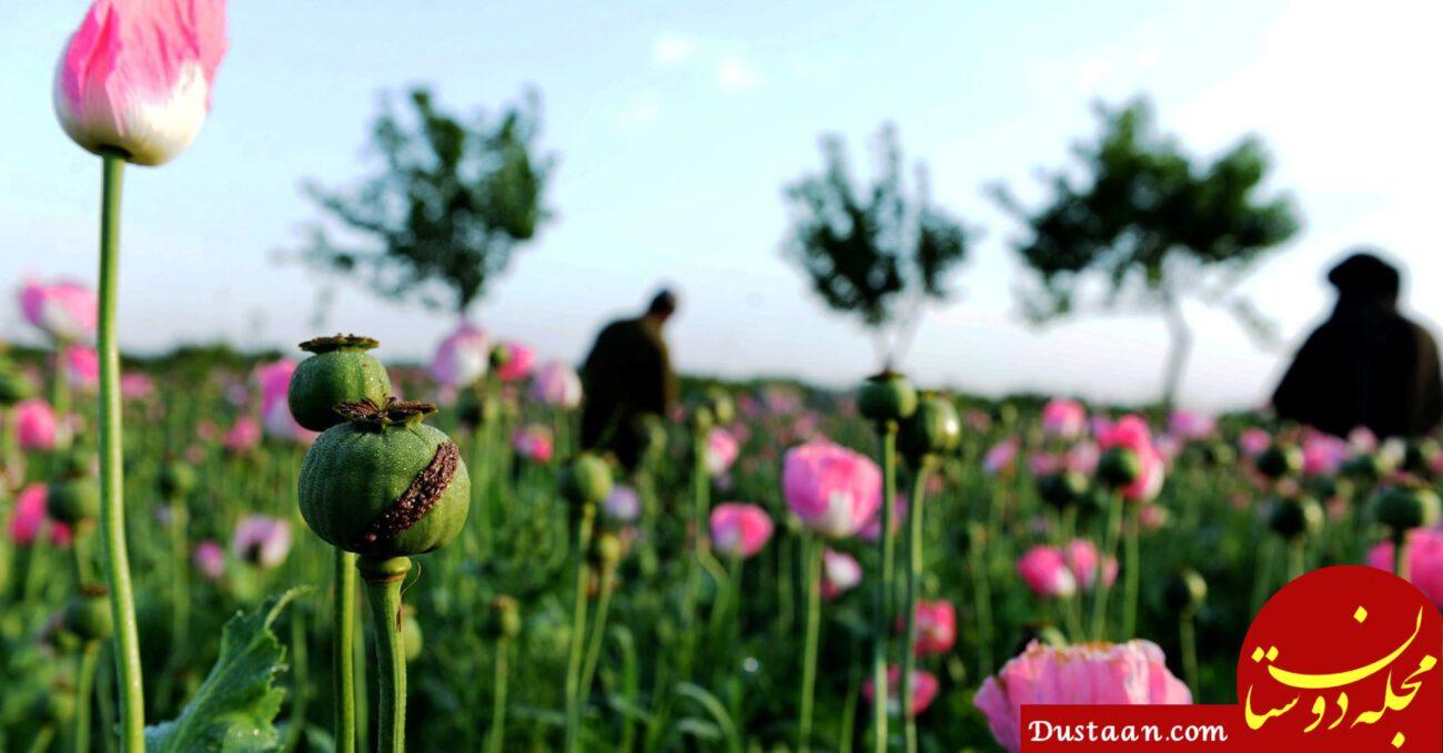 www.dustaan.com مزرعه خشخاش لو رفت