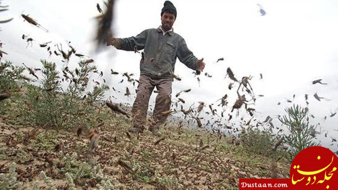 www.dustaan.com ورود موج جدید آفت ملخ به ۳ استان کشور تا ۱ ماه آینده