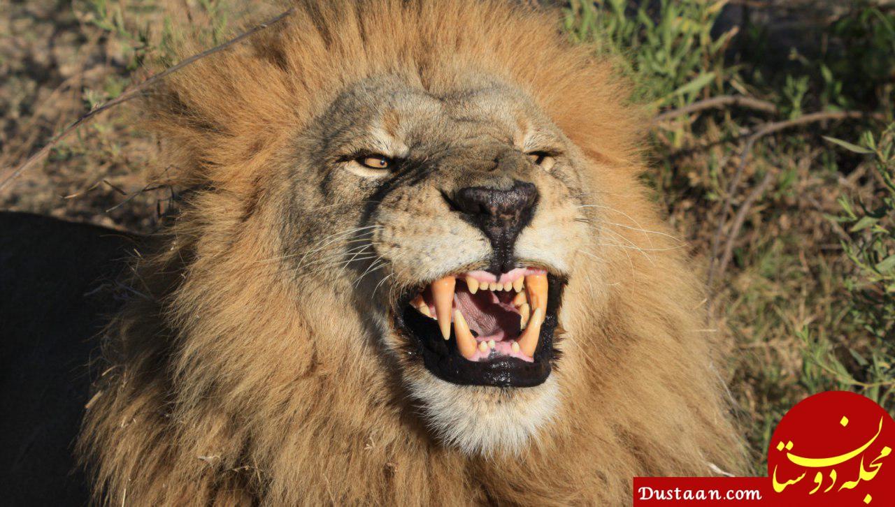 www.dustaan.com جزئیات حمله شیر به یک مسئول در قزوین