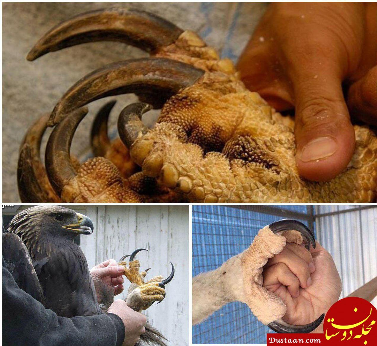 www.dustaan.com بزرگترین عقاب جهان که به انسان به چشم یک شکار نگاه می کند! +عکس