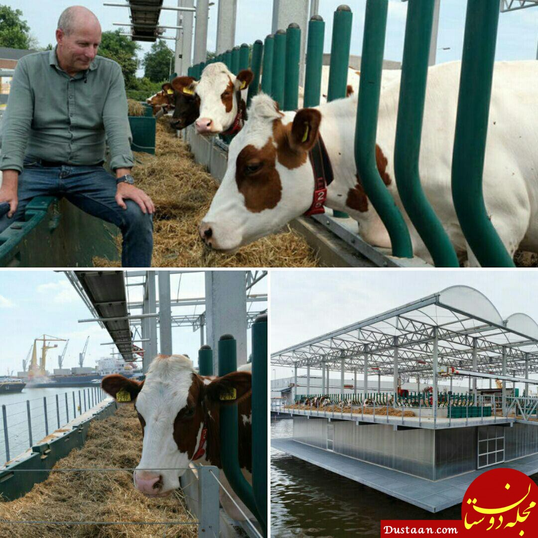www.dustaan.com ساخت اولین گاوداری شناور جهان در هلند! +عکس