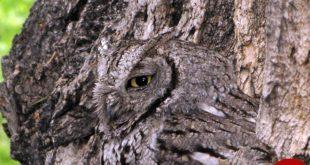 عکس های دیدنی از استتار جغد در میان درختان!