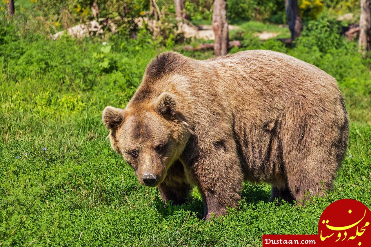 https://koodakedana.ir/images/animal/mammal/Brown-bear/Brown-bear.jpg