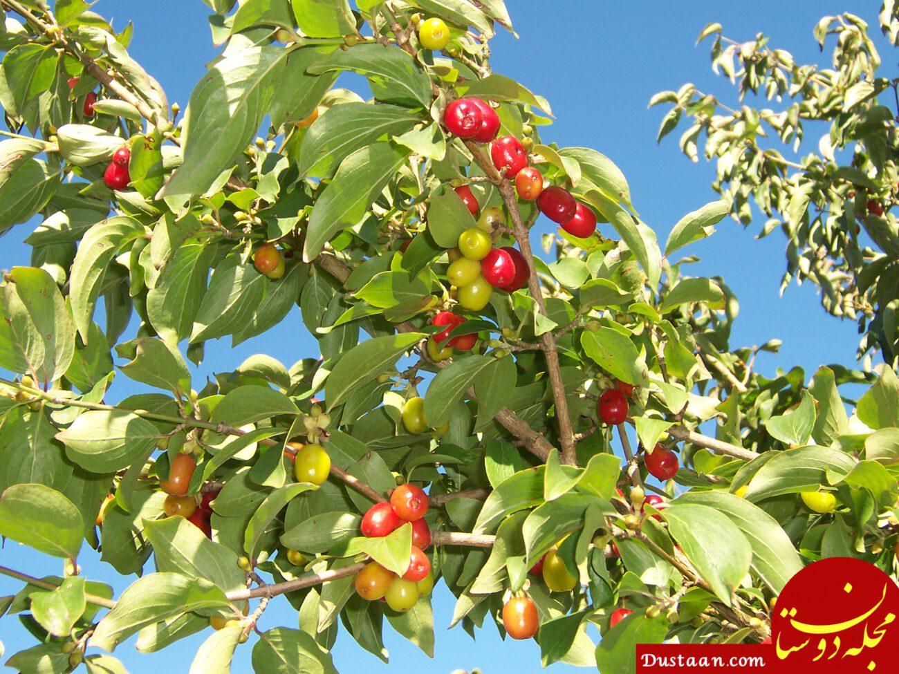 www.dustaan.com با این میوه لذیذ به جنگ سرطان بروید!