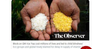 دعوا بر سر برنج طلایی همچنان ادامه دارد
