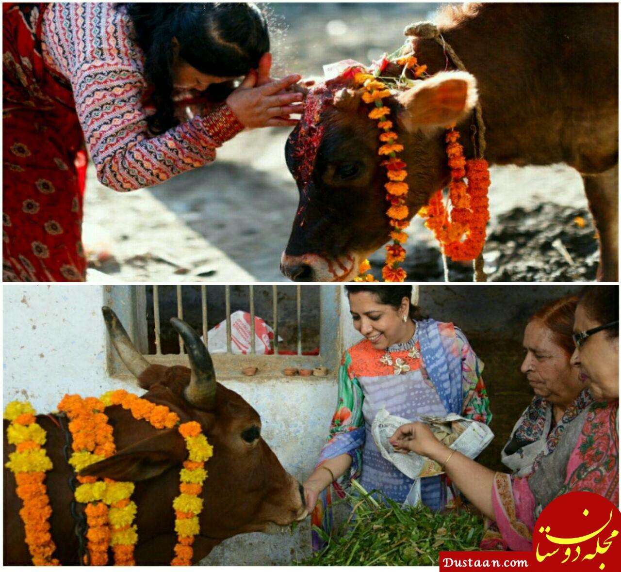 www.dustaan.com پرستش گاو در هند / ذبح گاو در غرب هند حبس ابد دارد!