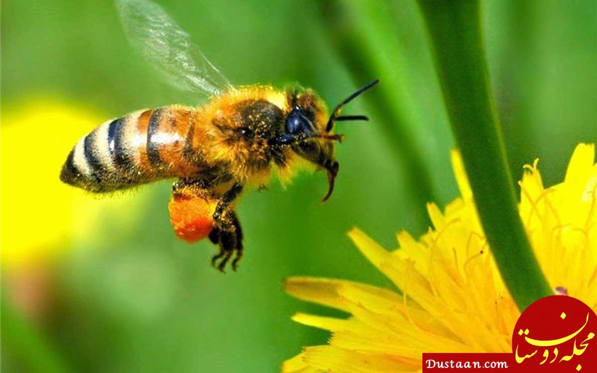www.dustaan.com جهان ما بعد از انقراض زنبور عسل و انسان چه تغییری می کند؟
