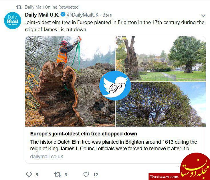 www.dustaan.com قطع قدیمی ترین درخت اروپا در برایتون انگلیس +عکس