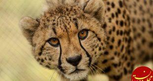 مشاهده یوزپلنگ ایرانی جدید در استان سمنان