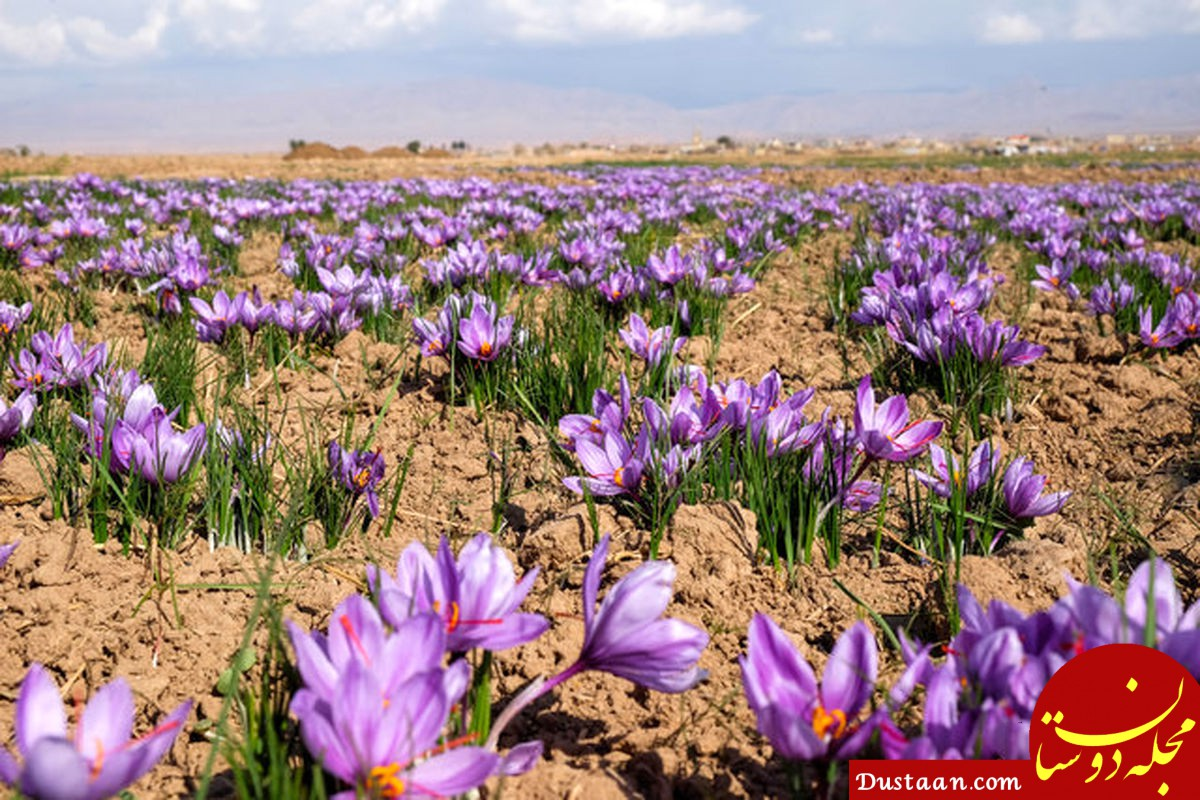 خواص و فواید زعفران در یک نگاه