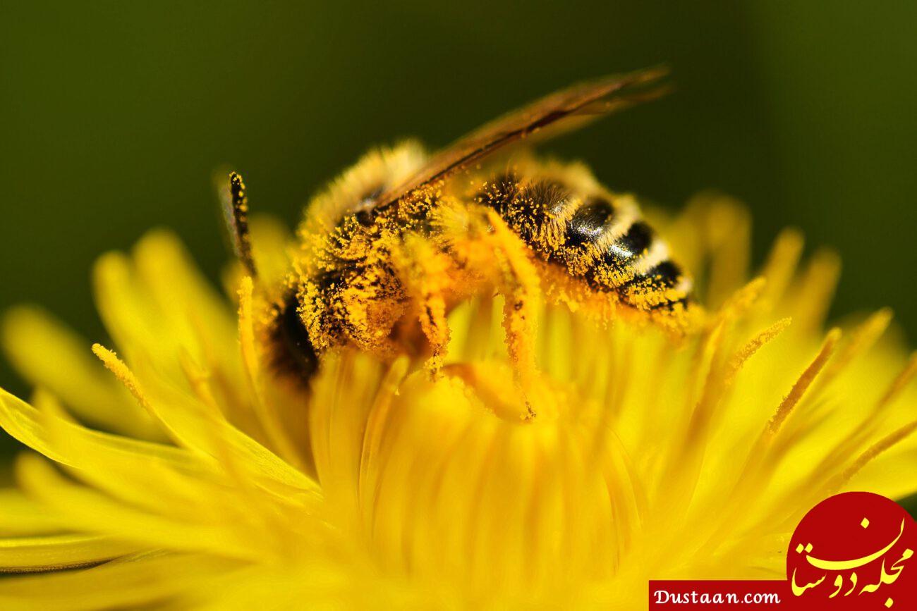 اگر زنبورها بمیرند، ما زنده می مانیم؟