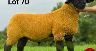 رکورد گرانترین گوسفند جهان شکست! +عکس