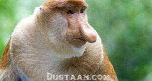 دانشمندان به بررسی مجرای آوایی میمونها و دلیل عدم صحبت کردن این حیوانات پرداختند.    چرا میمون ها قادر...
