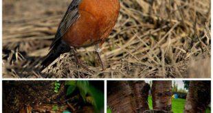 پرنده ای به نام «سینه سرخ » که تخم هایی به رنگ فیروزه ای دارد.  سهره سینه سرخ نام علمی آن (Carduelis cannabi...