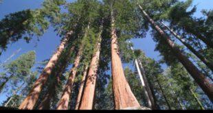 هایپریون نام درختی است بومی کالیفرنیا با ارتفاع ۱۱۵٫۶۱ متر و از خانواده درختان سکویا، به عنوان بلندترین درخت ج...