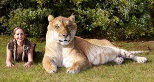 رکورد های جالبی که از حیوانات در کتاب گینس به ثبت رسیده است را در ادامه مشاهده میکنید.  بزرگترین شیر ببر جها...