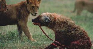 تصاویری فوق العاده زیبا از لحظه شکار حیوانات وحشی, هرچند این عکس ها درداور و تکان دهنده هستند ولی حیوانات برای...
